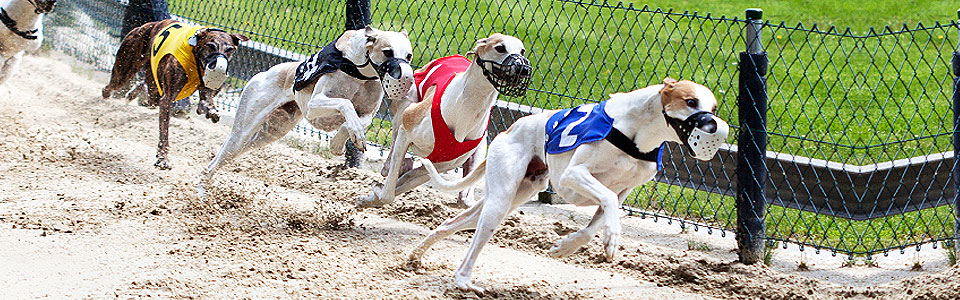 cowley dog racing betting